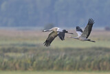 111612 - Common Crane (Grus grus) group flying, Mecklenburg-Western Pomerania, Germany