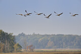111613 - Common Crane (Grus grus) group flying, Mecklenburg-Western Pomerania, Germany