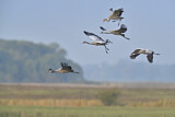 111614 - Common Crane (Grus grus) group flying, Mecklenburg-Western Pomerania, Germany