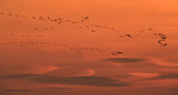 111616 - Common Crane (Grus grus) group in flight at sunset, Mecklenburg-Western Pomerania, Germany