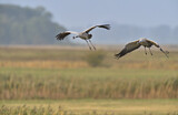 111617 - Common Crane (Grus grus) two birds in flight, Mecklenburg-Western Pomerania, Germany