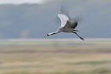 111619 - Common Crane (Grus grus) flying, Mecklenburg-Western Pomerania, Germany