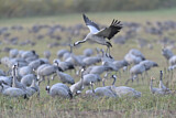 111620 - Common Crane (Grus grus) flying, Mecklenburg-Western Pomerania, Germany