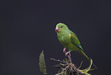 111686 - Plain Parakeet (Brotogeris tirica) perched on a branch, Atlantic rainforest, Brazil