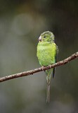 111687 - Plain Parakeet (Brotogeris tirica) perched on a branch, Atlantic rainforest, Brazil