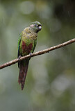 111698 - Maroon-bellied Parakeet (Pyrrhura frontalis) perched on a branch in rain, Atlantic rainforest, Brazil