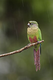 111699 - Maroon-bellied Parakeet (Pyrrhura frontalis) perched on a branch in rain, Atlantic rainforest, Brazil