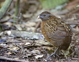 Rufous-breasted Wood Quail
