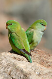 Mountain Parakeet
