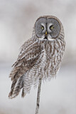 112779 - Great Grey Owl (Strix nebulosa) perched on a branch, Quebec, Canada