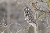 112782 - Great Grey Owl (Strix nebulosa) perched on a branch, Quebec, Canada