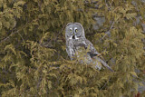112786 - Great Grey Owl (Strix nebulosa) perched in tree, Quebec, Canada