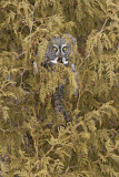 112787 - Great Grey Owl (Strix nebulosa) perched in tree, Quebec, Canada