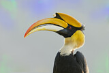 112885 - Great Hornbill (Buceros bicornis), West Bengal, India