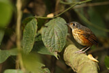 Thicket Antpitta