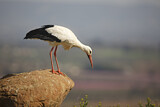 113576 - White Stork (Ciconia ciconia) perched on a rock, Spain