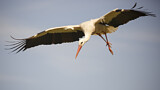 113577 - White Stork (Ciconia ciconia) flying, Spain