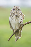 113674 - Short-eared Owl (Asio flammeus) perched on a branch, Emilia-Romagna, Italy