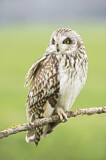 113676 - Short-eared Owl (Asio flammeus) perched on a branch, Emilia-Romagna, Italy