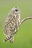 113682 - Short-eared Owl (Asio flammeus) perched on a branch, Emilia-Romagna, Italy