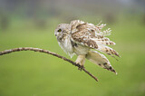 113685 - Short-eared Owl (Asio flammeus) shaking feathers on a branch, Emilia-Romagna, Italy