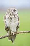 113687 - Short-eared Owl (Asio flammeus) perched on a branch, Emilia-Romagna, Italy