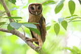 113714 - Minahassa Masked Owl (Tyto inexspectata) perched on a branch, Sulawesi Utara, Indonesia