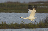 113747 - Whooping Crane (Grus americana) taking flight, Texas, USA