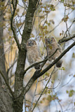 113787 - Tawny Owl (Strix aluco) juveniles perched on a branch, North Rhine-Westphalia, Germany