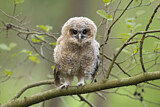 113788 - Tawny Owl (Strix aluco) juvenile perched on a branch, North Rhine-Westphalia, Germany