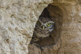 113894 - Little Owl (Athene noctua) peering out from nest hole, Spain
