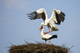 113897 - White Stork (Ciconia ciconia) pair mating, North Rhine-Westphalia, Germany