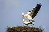 113898 - White Stork (Ciconia ciconia) pair mating, North Rhine-Westphalia, Germany