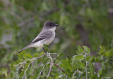 114245 - Eastern Phoebe (Sayornis Phoebe) perched on a branch, Texas, USA