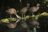 114427 - West Indian Whistling Duck (Dendrocygna arborea) group, Dominican Republic