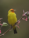 Western Tanager