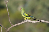 114489 - Regent Parrot (Polytelis anthopeplus) female perched on a branch, Victoria, Australia