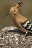 114599 - Eurasian Hoopoe (Upupa epops) perched on a rock, Castile-La Mancha, Spain