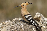 114600 - Eurasian Hoopoe (Upupa epops) perched on a rock, Castile-La Mancha, Spain