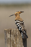 114601 - Eurasian Hoopoe (Upupa epops) perched on a pale, Castile-La Mancha, Spain