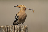 114603 - Eurasian Hoopoe (Upupa epops) perched on a pale with food in beak, Castile-La Mancha, Spain