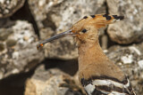 114604 - Eurasian Hoopoe (Upupa epops) perched on a rock with food in beak, Castile-La Mancha, Spain