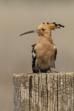 114606 - Eurasian Hoopoe (Upupa epops) perched on a pale, Castile-La Mancha, Spain