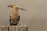 114607 - Eurasian Hoopoe (Upupa epops) perched on a pale, Castile-La Mancha, Spain