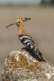 114608 - Eurasian Hoopoe (Upupa epops) perched on a rock with food in beak, Castile-La Mancha, Spain