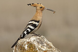 114609 - Eurasian Hoopoe (Upupa epops) perched on a rock with food in beak, Castile-La Mancha, Spain