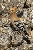 114610 - Eurasian Hoopoe (Upupa epops) perched on a rock, Castile-La Mancha, Spain