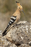114611 - Eurasian Hoopoe (Upupa epops) perched on a rock, Castile-La Mancha, Spain