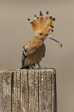 114612 - Eurasian Hoopoe (Upupa epops) perched on a pale with food in beak, Castile-La Mancha, Spain