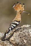 114613 - Eurasian Hoopoe (Upupa epops) perched on a rock with food in beak, Castile-La Mancha, Spain
